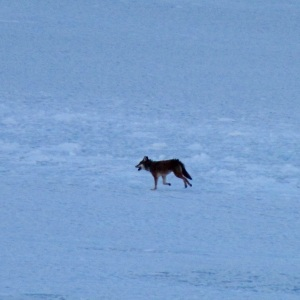 Coyote crossing the St. Lawrence River