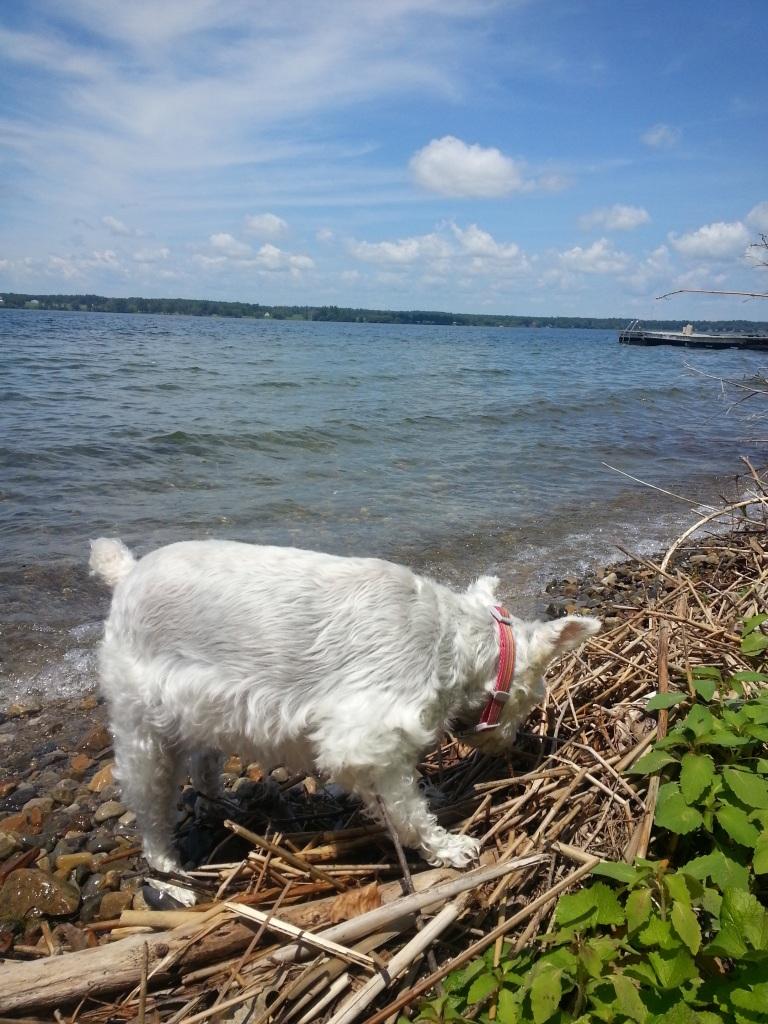 Heidi, exploring on the shoreline.  Steve Krauz, photographer
